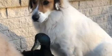Meet an Amazing Pet Duck Who Thinks He is a Dog